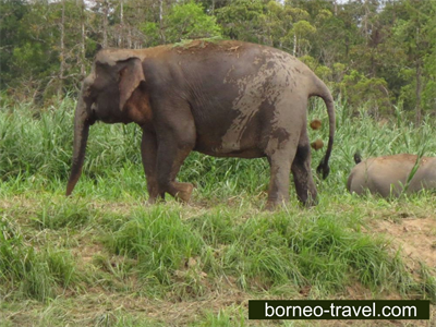 Borneo Pigmy Elephants