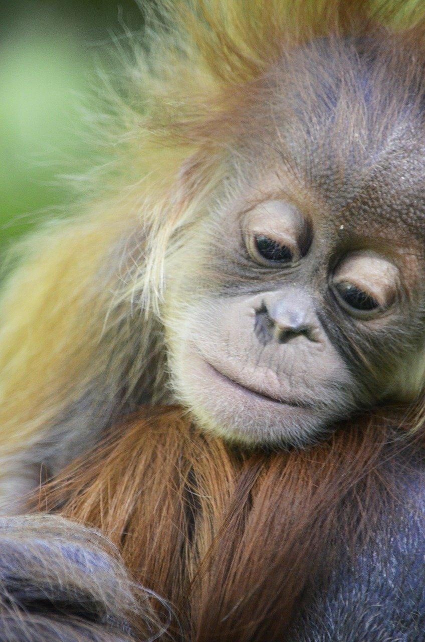 Borneo Travel Baby Orangutan