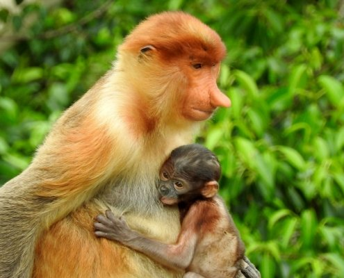 borneo travel proboscis monkey